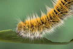 Mite Caterpillar d'Eggar photographie stock libre de droits