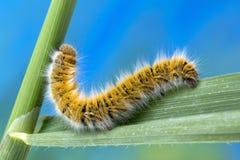 Mite Caterpillar d'Eggar photos libres de droits