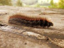 Mite Caterpillar de Fox Images stock