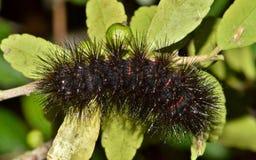 Mite Caterpillar de léopard sur de petites feuilles d'arbre photos libres de droits