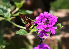 Mite de colibri Image libre de droits