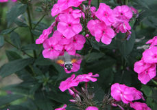 Mite de faucon de colibri de papillon Photographie stock libre de droits