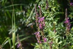 Mite de faucon sur la fleur Image libre de droits