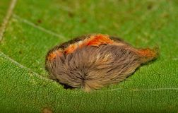Mite de flanelle avec la rayure orange le long de son dos photos stock
