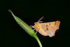 Mite de nuit (espèces de Geometrida) photographie stock libre de droits