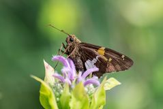 Mite de papillon sur le macro de fleur photos stock