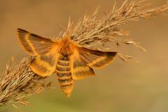 Mite (dumi de Lemonia) Image libre de droits