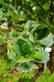 Mite galls on alder leaves Stock Image