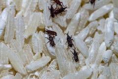 mite haute étroite de riz manger du riz image stock