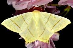 mite Hirondelle-coupée la queue (sambucaria d'Ourapteryx) Photographie stock