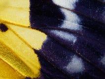 Mite jaune, noire, et blanche dans la fin de l'aile, de l'abdomen, et du thorax d'isolement sur le fond blanc Photos libres de droits