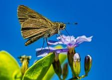 Mite - l?pidopt?res - sur la fleur pourpre avec le ciel bleu au fond, macro phototography photo libre de droits