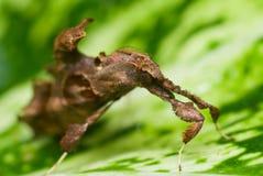 Mite Leaf-like Photos libres de droits