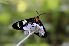 Mite noire et blanche sur des fleurs Photos stock