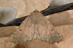 Mite noisette crantée (bidentata d'Odontopera) au repos Photo libre de droits