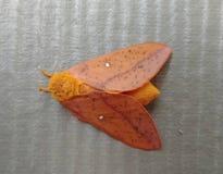 Mite orange avec les taches blanches image stock