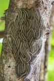 Mite processionary de chêne - chenilles de processionea de Thaumetopoea sur l'arbre en été Image stock