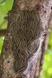 Mite processionary de chêne - les chenilles de processionea de Thaumetopoea sur l'arbre en été, se ferment  Image stock