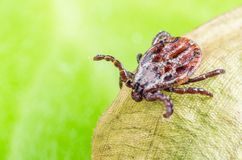 The mite sits on a dry leaf, dangerous parasite and a carrier of infections.  royalty free stock photos