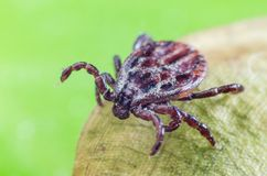 The mite sits on a dry leaf, dangerous parasite and a carrier of infections.  royalty free stock image