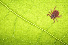 Mite sitting on a green leaf for collage with space for text . Danger of tick bite Stock Photo