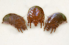 Mites - 3d rendered illustration Stock Images
