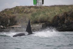 Mitglied der Biggs-Killerwalhülse der Schwertwale in San Juan Islands, stockfotografie