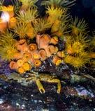 Mithraculus cinctimanus,被结合的紧贴的螃蟹 免版税库存照片