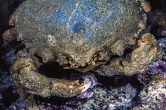 Mithraculus sculptus,绿色紧贴的螃蟹, 免版税库存照片