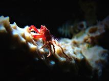 Mithrax cinctimanus 011-1. This is a banded clinging crab sitting on a branching vase sponge stock photography