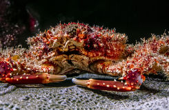 Mithrax spinosissimus, West Indian spider crab Stock Photo