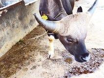 Mithun, поднятое как животное мяса среди племенных людей северо-восточной Индии стоковые изображения