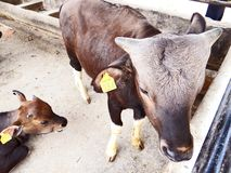 Mithun, поднятое как животное мяса среди племенных людей северо-восточной Индии стоковое изображение