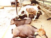 Mithun, поднятое как животное мяса среди племенных людей северо-восточной Индии стоковое изображение rf