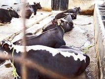 Mithun, поднятое как животное мяса среди племенных людей северо-восточной Индии стоковая фотография