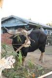 Mithun Fotografía de archivo