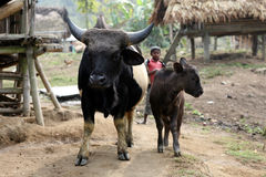 Mithun. Cow and calf in an indigenous Nishi village. Cattle of the hill tribes in the north east of India. National animal of Nagaland Stock Photos