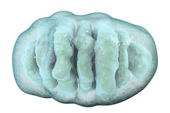 Mitochondrion, κυψελοειδή ogranelles που παράγουν την ενέργεια Ελεύθερη απεικόνιση δικαιώματος