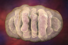 Mitochondrion, komórkowi ogranelles które produkują energię ilustracja wektor
