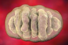 Mitochondrion, komórkowi ogranelles które produkują energię ilustracji
