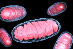 Mitochondrion. Is a double membrane-bound organelle found in all eukaryotic organisms. 3D illustration Stock Photography