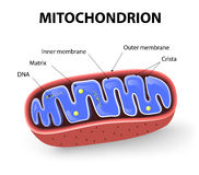 Mitochondrion Stock Photos