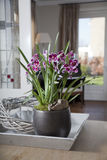 Mitonia orchid in interior Stock Images