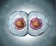 mitosis Στάδιο δύο Στοκ Εικόνα