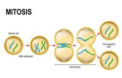 Mitosis. vector illustration