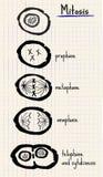 Mitosis del dibujo del vector Foto de archivo libre de regalías