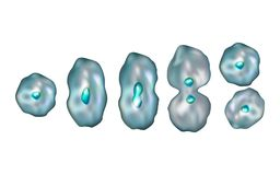 Mitosis. Diagram of the mitotic phases. vector illustration