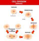 Mitosis. división celular de proceso ilustración del vector
