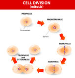 Mitosis. división celular de proceso Fotografía de archivo