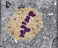 mitosis Micrográfo de TEM Fotografía de archivo libre de regalías
